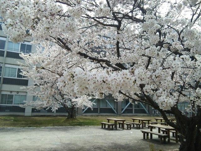 ファイル 20110407_okadai_sakura-2.jpg